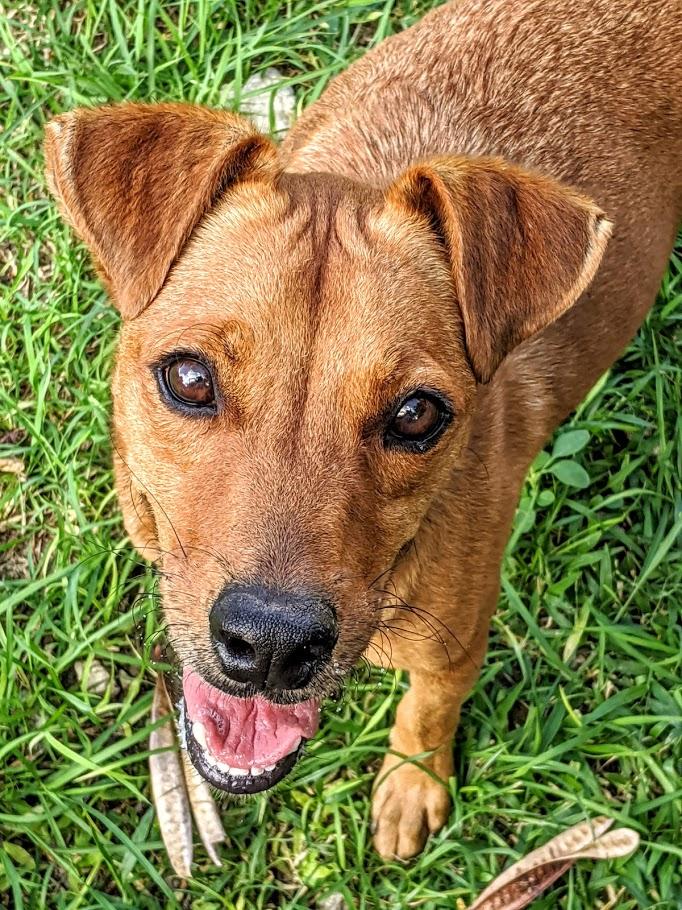 Pretty brown dog at Ocean Acres Animal Sanctuary